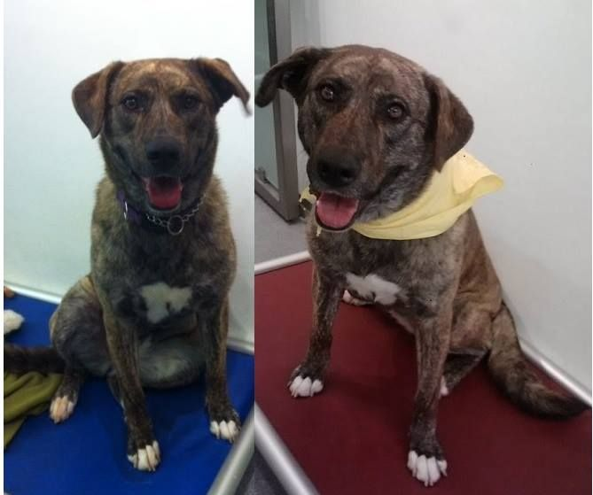 Mocha came to us today with a big smile. She thinks she is on a field trip. Mocha (85 lbs.) is a 4 year old Anatolian Shepherd Mix. She has been our official greeter today sporting her white paw paws, white chest, brindle coat, & happy kissy smile. We love this girl! Questions? Call us at 310.441.1150 She is available for adoption at L.A. Love & Leashes, located on the 1st floor of the Westside Pavilion mall at 10800 West Pico Blvd, Los Angeles, CA 90064. http://www.laloveandleashes.com...