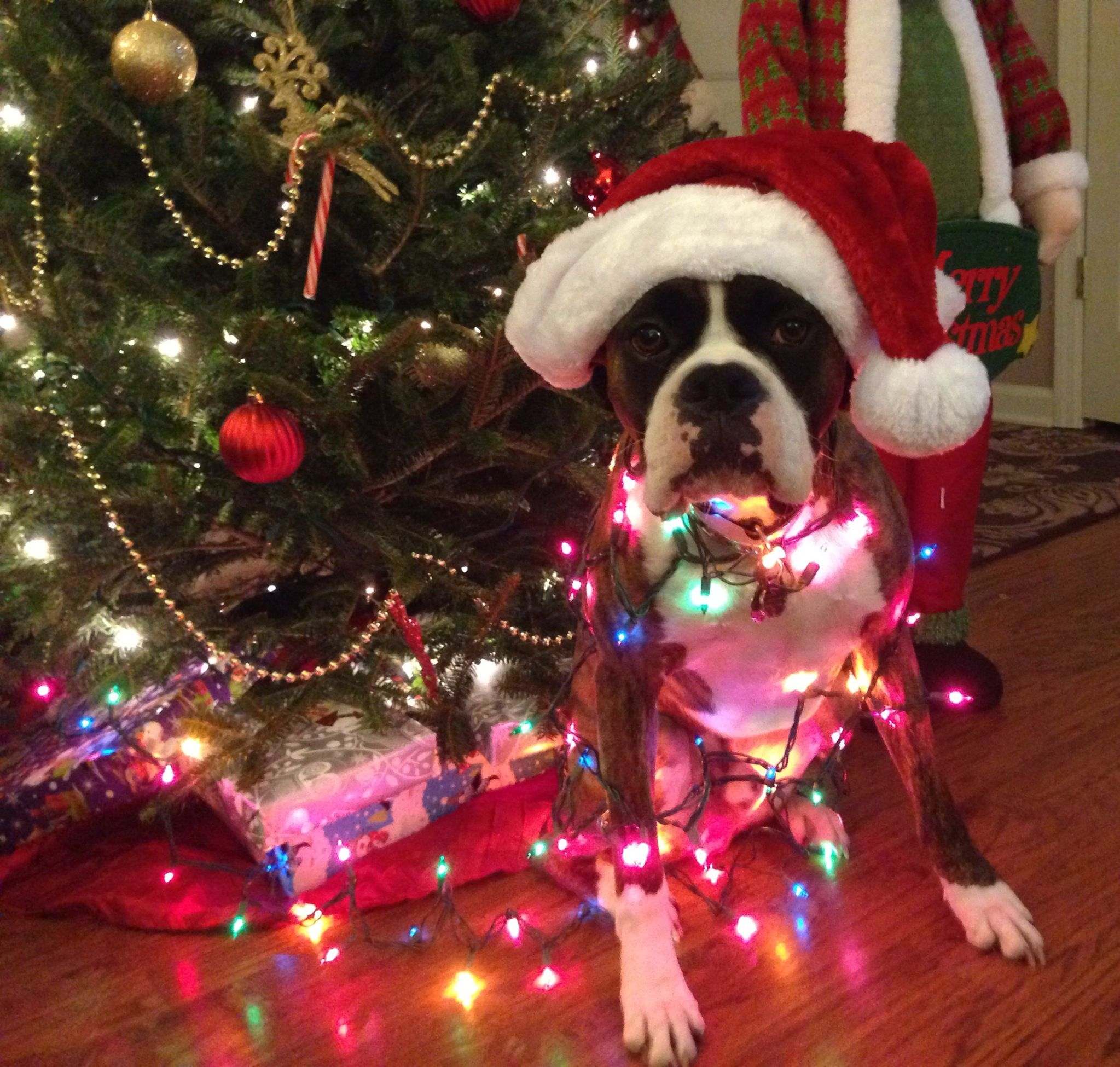 Boxer Energetic And Funny Dog Christmas Pictures Christmas Animals Boxer Dogs