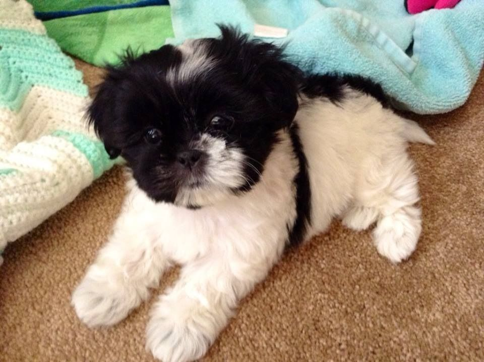 Black And White Shih Tzu Shih Tzu Puppy Shih Tzu Puppies