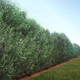 privacy trees willow hybrid growing zones 4 9 fastest growing screen grows up to 6 ft. Black Bedroom Furniture Sets. Home Design Ideas
