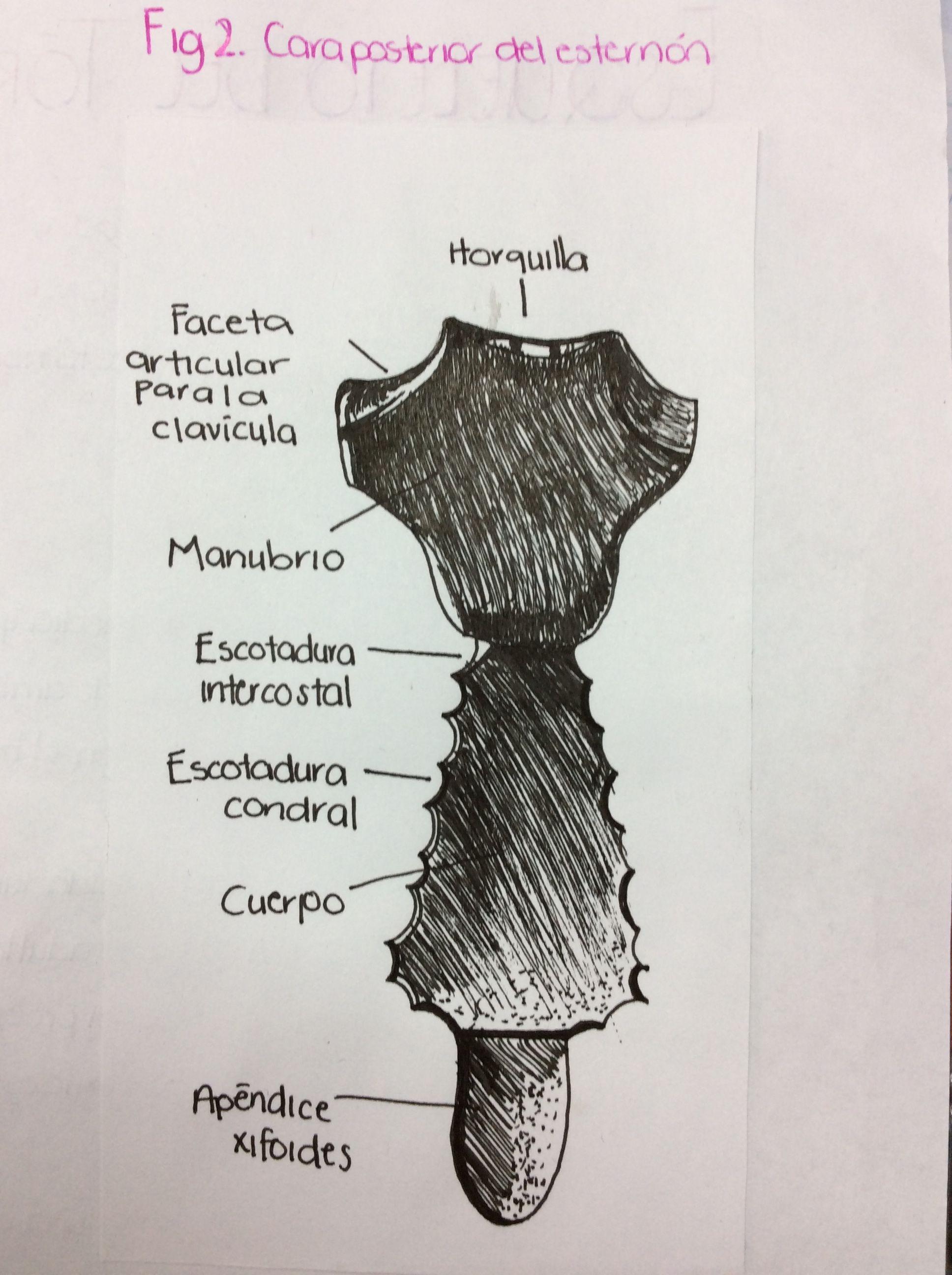 Cara posterior del esternón | Mis dibujos de Anatomía | Pinterest ...