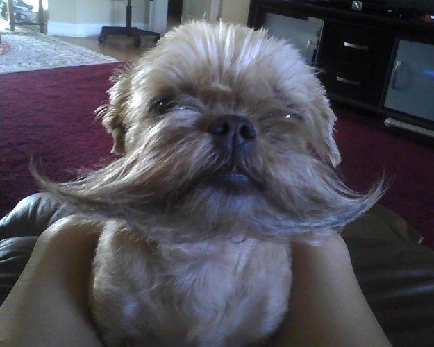 This dog with awe-inspiring facial hair: | 30 Dogs You Wish You Knew In Real Life