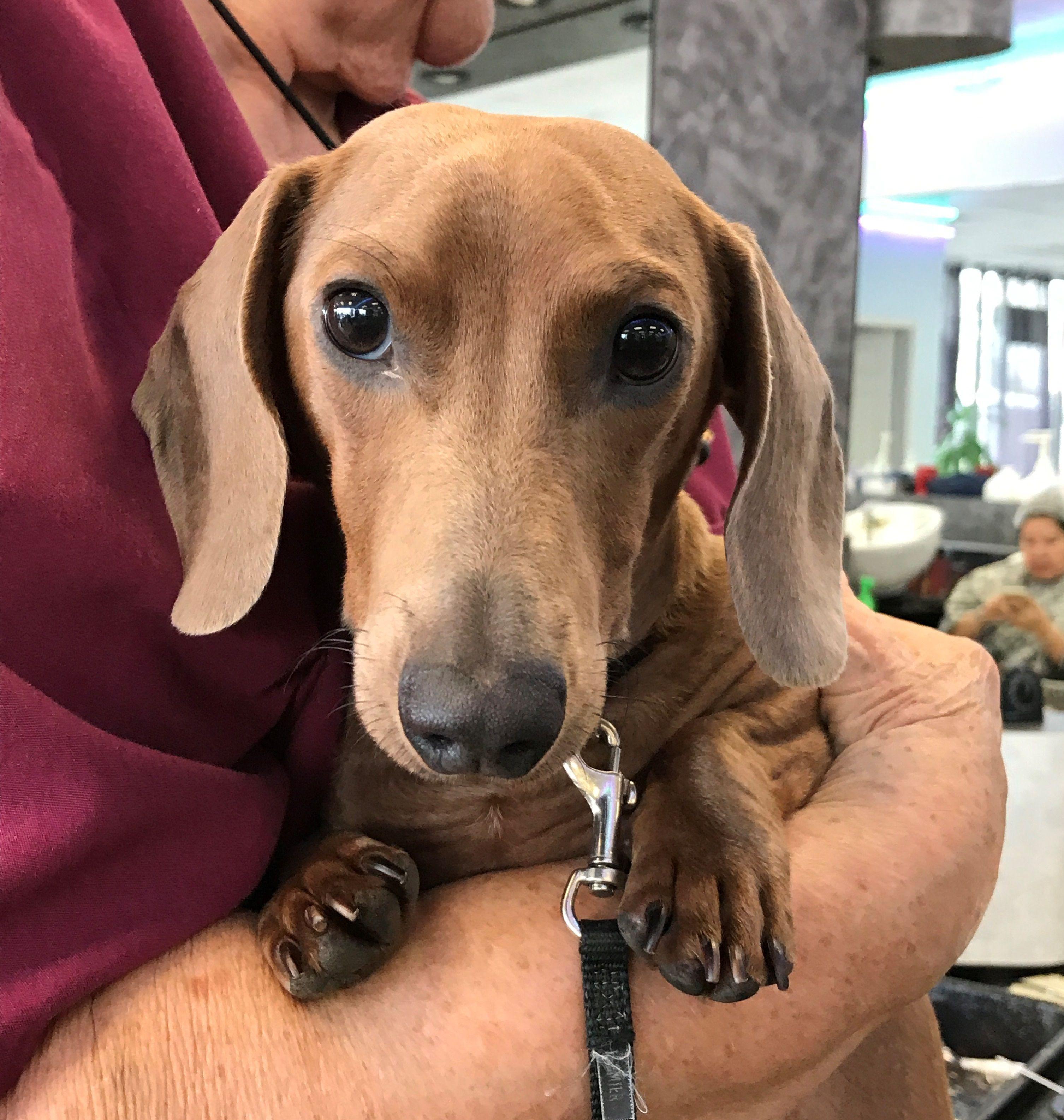Dachshund dog for Adoption in Pearland, TX. ADN695910 on