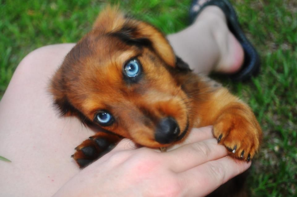 Long Hair Double Dapple Blue Eyed Doxie Pup Beautiful Wow
