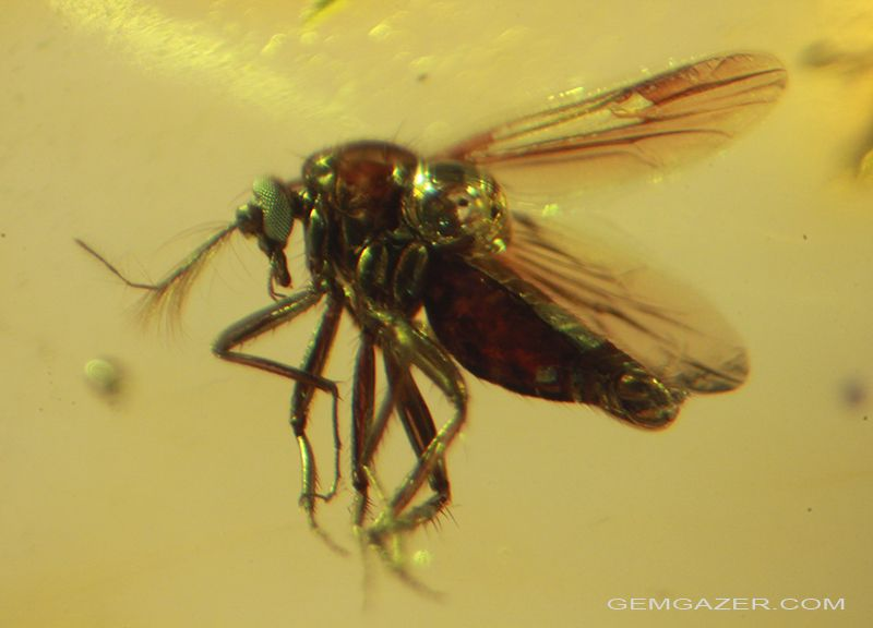 A Midge Entombed In Transparent Amber From The Dominican Republic
