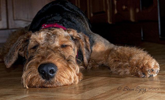 Airedale Terrier Tiere hund, Hunde und Tiere