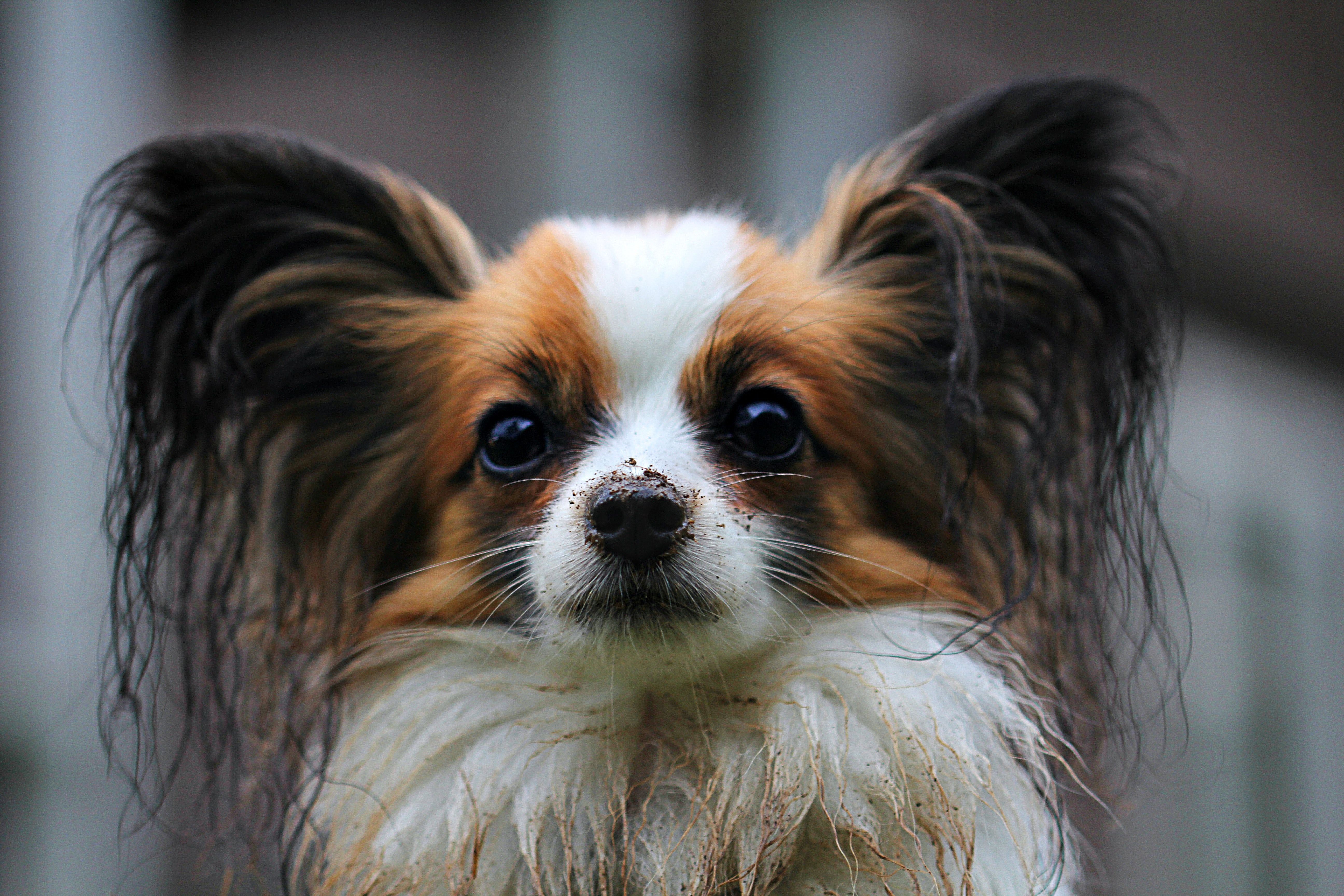 Flederhund