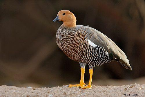 Daniel Aves: Cauquén colorado - En peligro de Extinción