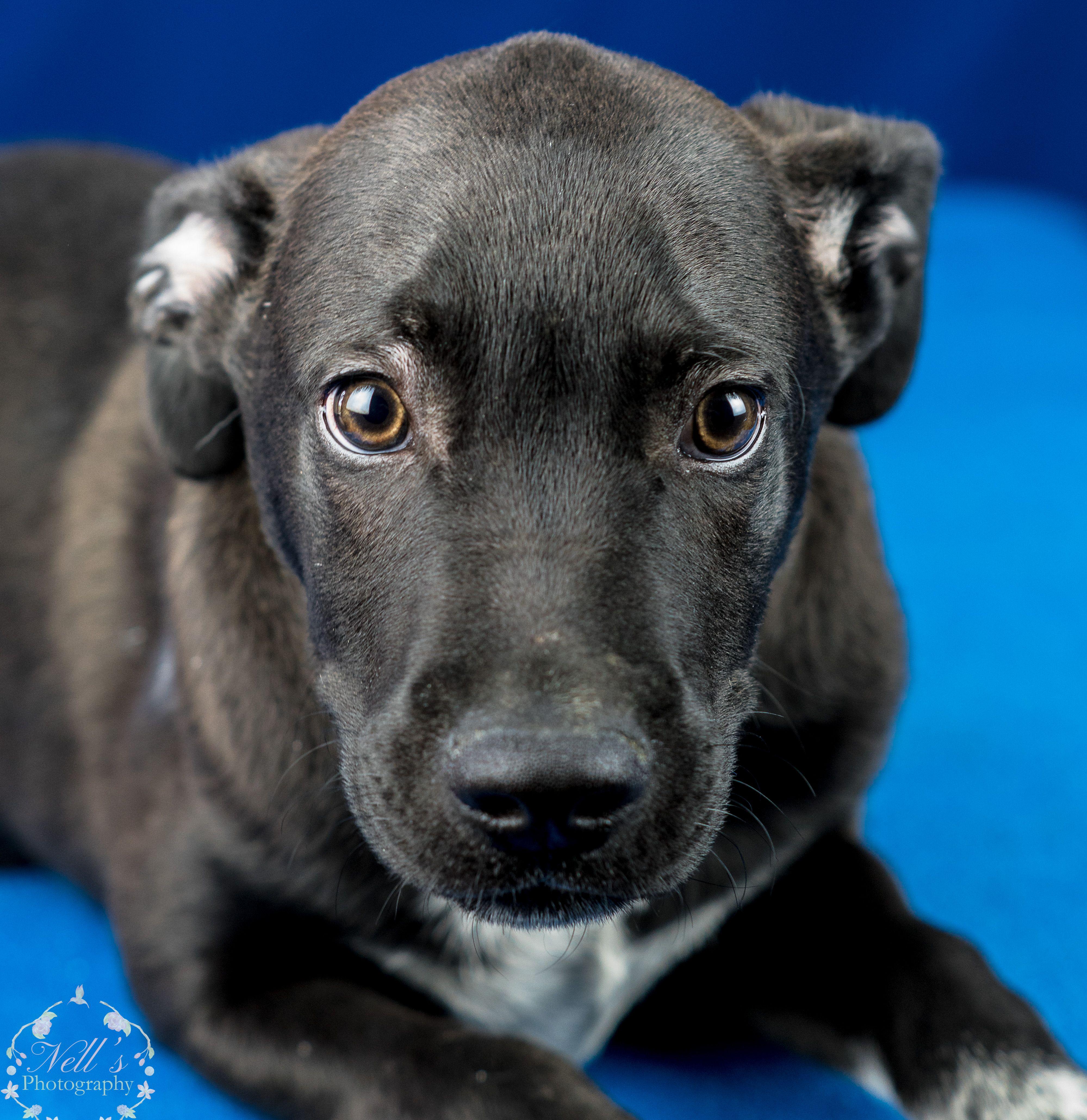 BullBoxer dog for Adoption in Tupelo, MS. ADN822022 on