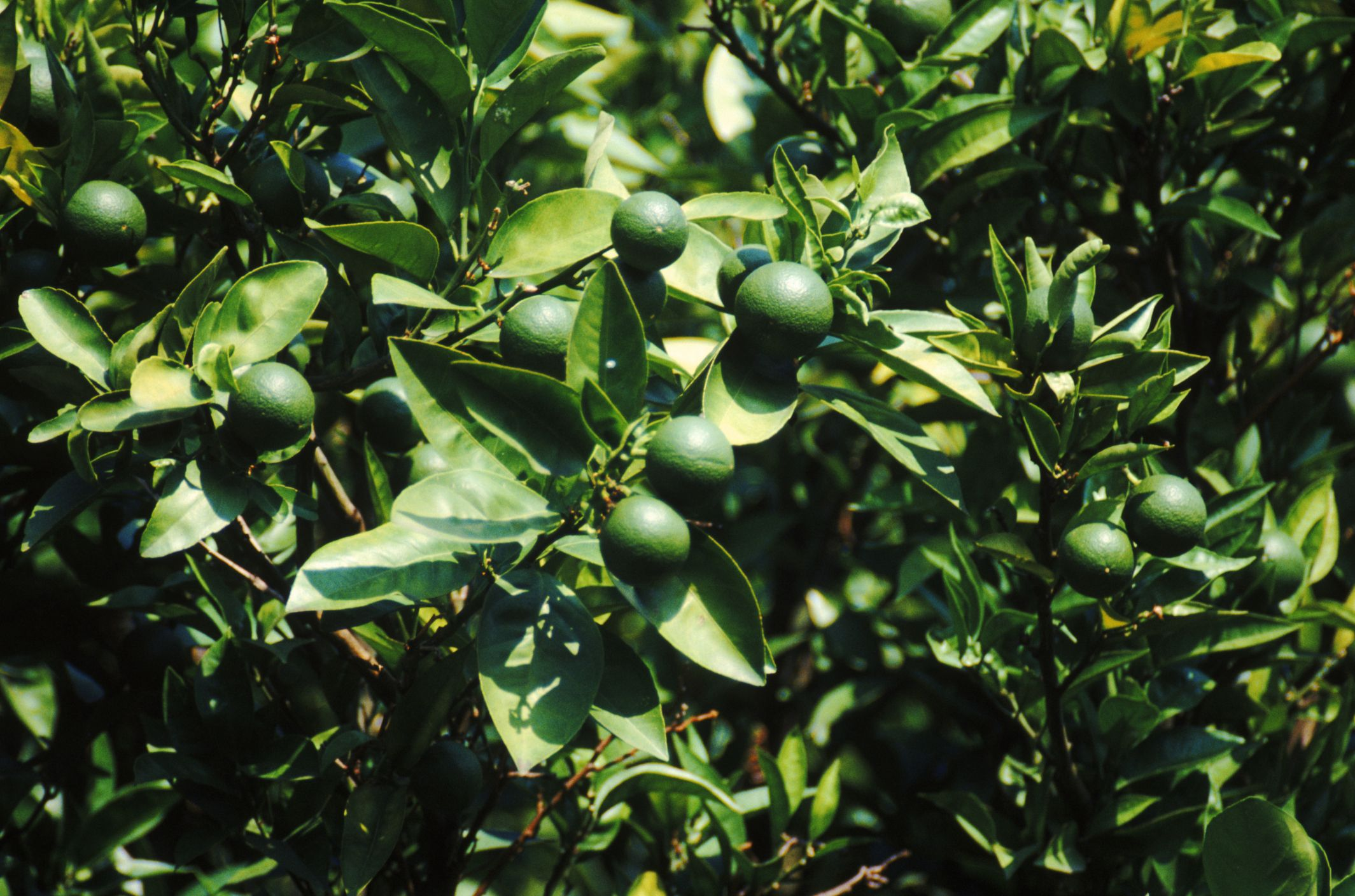 How long does it take a lime tree to bloom fruit key