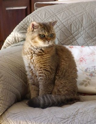 Selkirk Rex Origin Usa Colors Any Size Medium To Large Coat Type S Shorthair And Longhair Curly Haired Groomi Cat Breeds Rare Cats Rare Cat Breeds