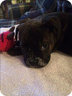 Quakertown Pa French Bulldog American Bulldog Mix Meet Zeus