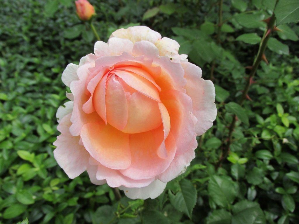 Wist je dat je rozen prima kunt verplanten? Op die manier geef je ze eigenlijk een nieuw leven.