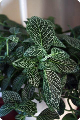 Onia Nerve Plant
