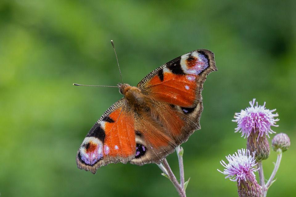 Kostenloses Bild Auf Pixabay Falter Schmetterling Blute Falter Kostenlose Bilder Und Bilder