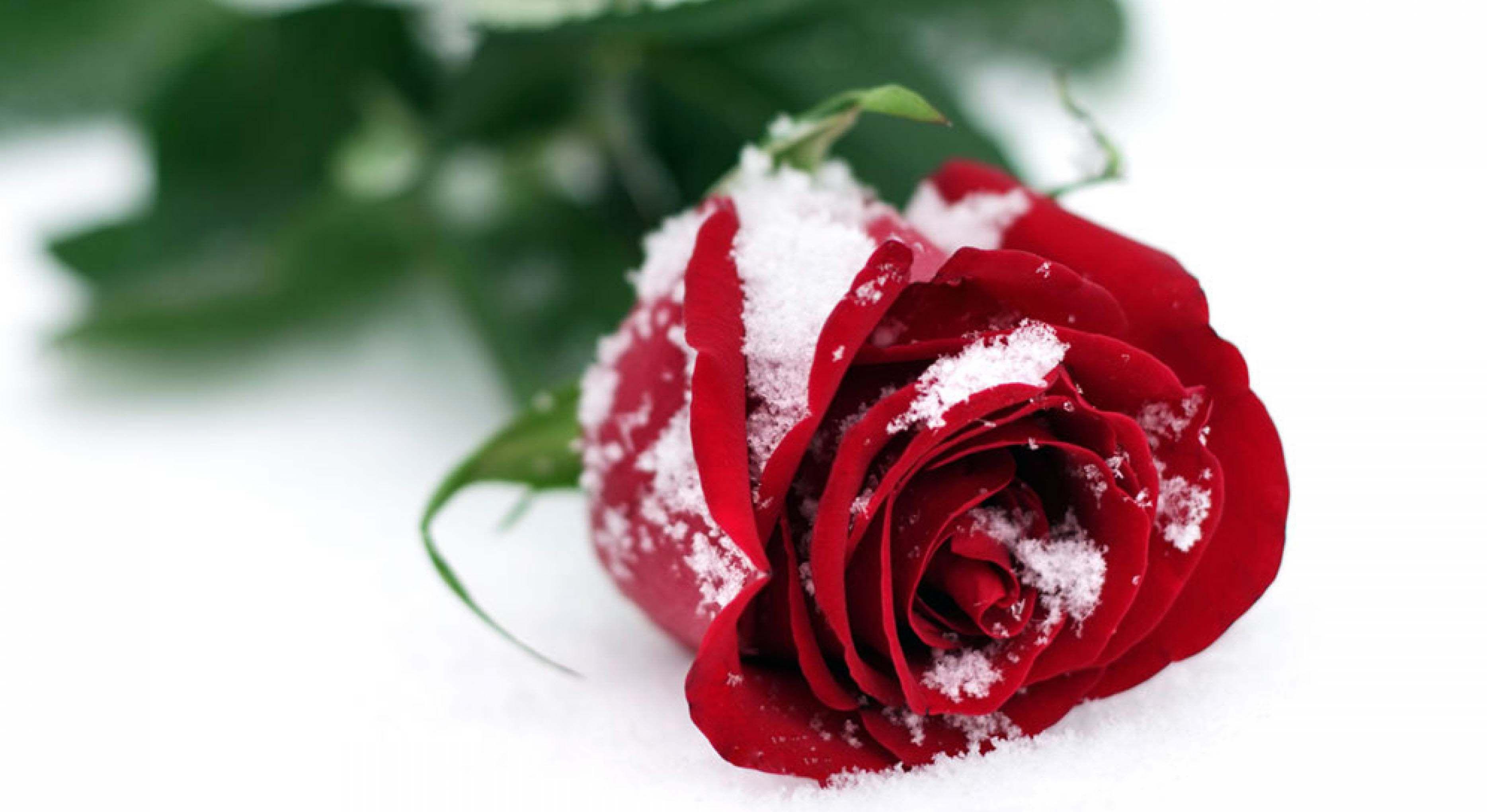 Winter Snow Rose Images Hd Desktop Wallpapers Snow Rose Rose Flower Wallpaper Rose Images