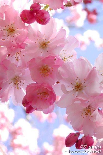 Best 25 Pink Flowering Trees Ideas On Pinterest Spring