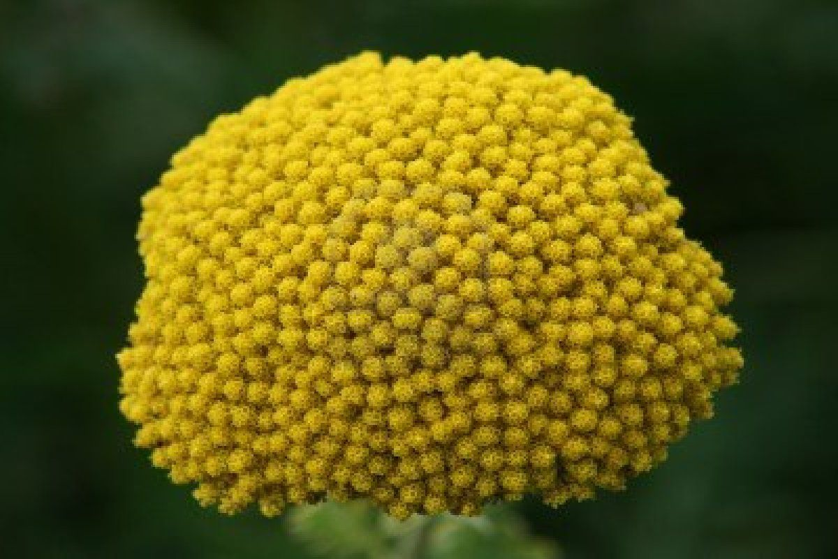 Yellow Yarrow Flower Yellow yarrow  Yellow Yarrow Flower