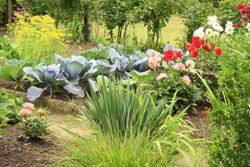 Nicht jedes Gemüse im Garten kann neben ein beliebig anderes gesetzt werden. Aber welches Gemüse harmoniert denn nun gut miteinander?   Was kann man getrost zusammenpflanzen? Es gibt Gemüse und auch Obst, das sich nicht verträgt. Es gibt aber auch Gemüse und Obst, das ganz besonders gut miteinander harmoniert. Heute möchten wir Ihnen die Sorten vorstellen, die sie getrost zusammenpflanzen k ...