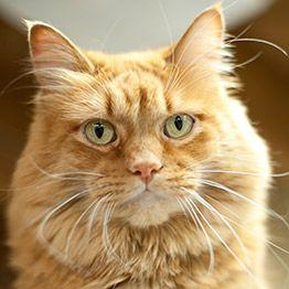Calgary Cat Rescue Cat And Kitten Adoption Kitten Adoption Cat Rescue Cats And Kittens