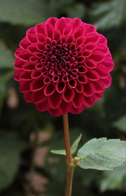 Talisman Beautiful Flowers Amazing Flowers Beautiful Flowers Garden