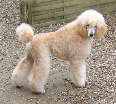apricot standard poodle - Google Search | animals ...