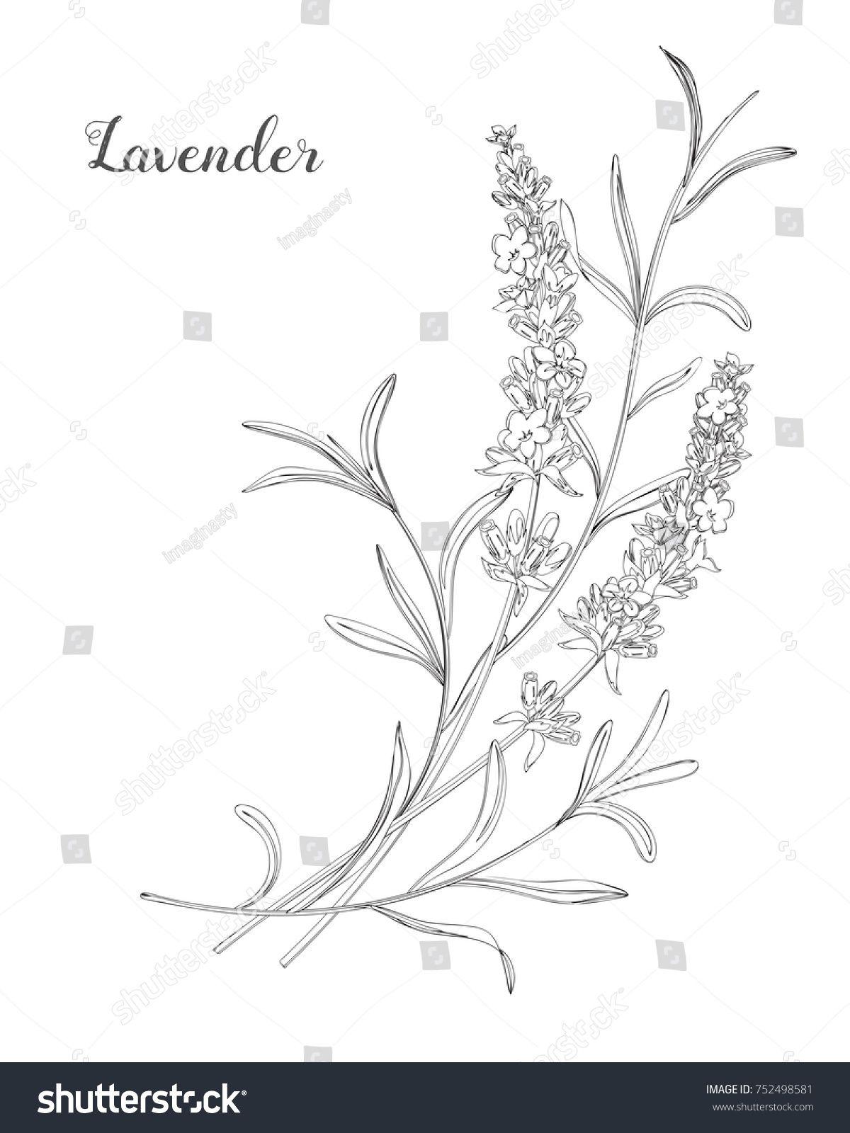 Vector Sketch Lavender Illustration Beautiful Boquet Of Lavender