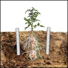 Deep Watering Tomatoes Dig A Hole On Either Side Of Where You Re
