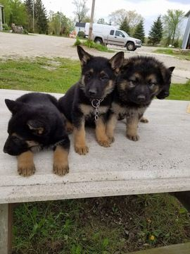 German Shepherd Dog Puppy For Sale In Chicago Il Adn 30123 On