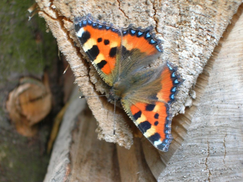 Tortoiseshell Butterfly 1024x768 download