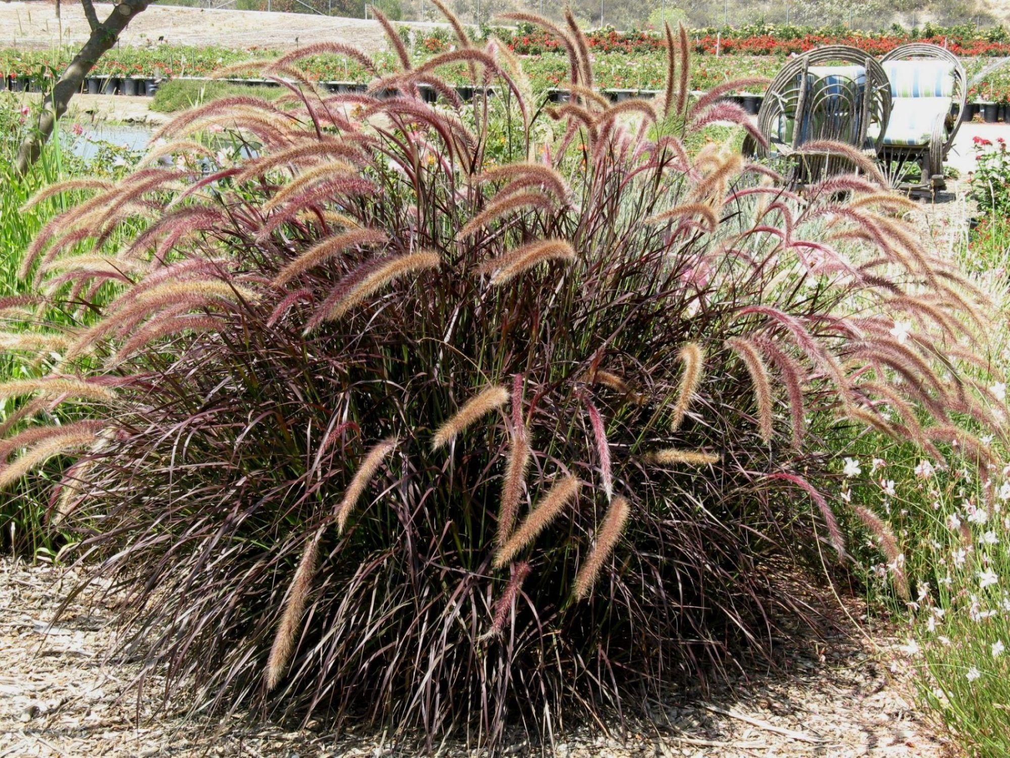 pennisetum setaceum rubrum 39 dwarf red 39 front yard pennisetum setaceum dwarf red fountain grass. Black Bedroom Furniture Sets. Home Design Ideas