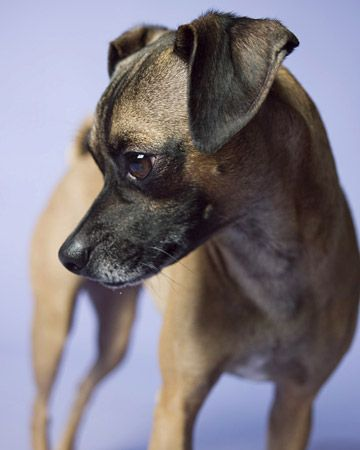 A Pugit It S A Hybrid Italian Greyhound Pug Mix Pugs