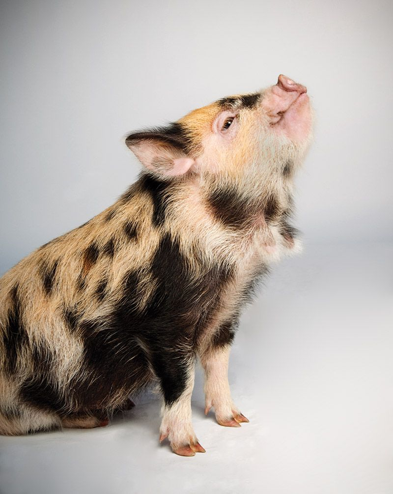 which pig find your next pig thing pet pigs micro pig and