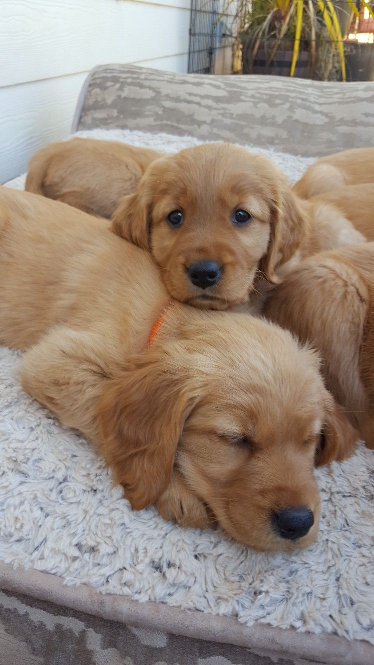Golden Retriever Puppies Facebook Willow S Akc Gokden Retriever