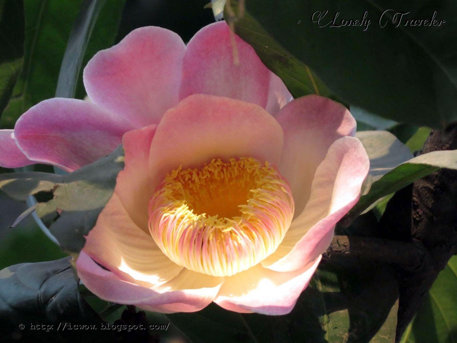 Majestic Heaven Lotus Gustavia Augusta Gustavia Flowers Plants