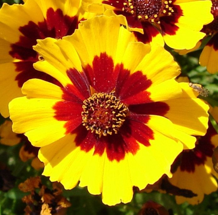 COREOPSIS TINCTORIA ~Brilliant Bi-Colored Flower ~ Easy To Grow ~ Great Gardeners Gift ~ 20 Fresh Seeds! by VikkiVines on Etsy