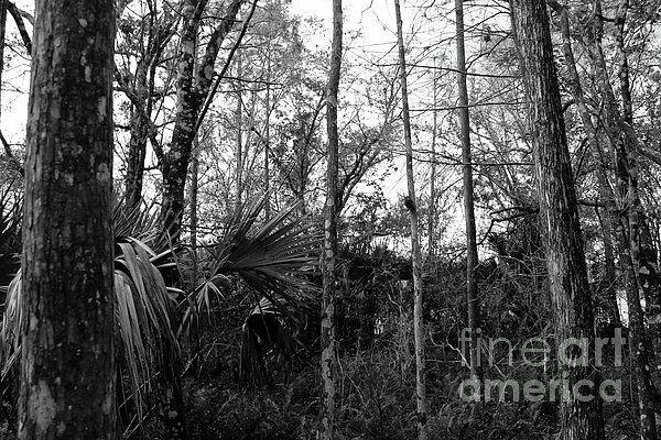 Slough Swamp Cypress Fort Myers Florida Tree Nature Landscape