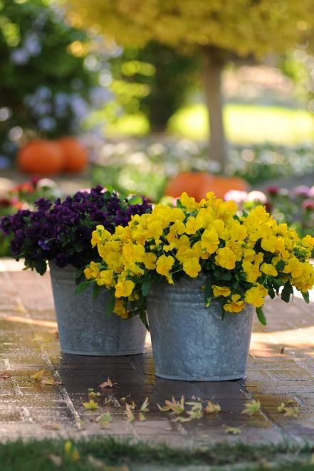 Winter Pansies With Pictures