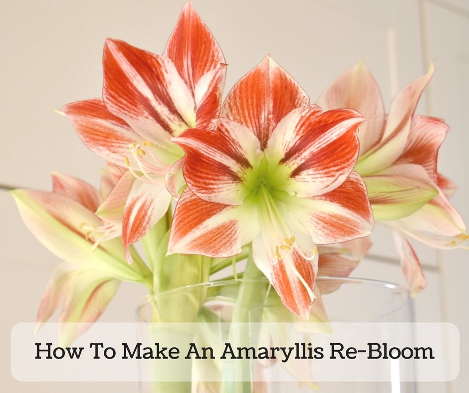 How To Get An Amaryllis To Flower Again Re Bloom Amaryllis Amaryllis Flowers Amaryllis Plant
