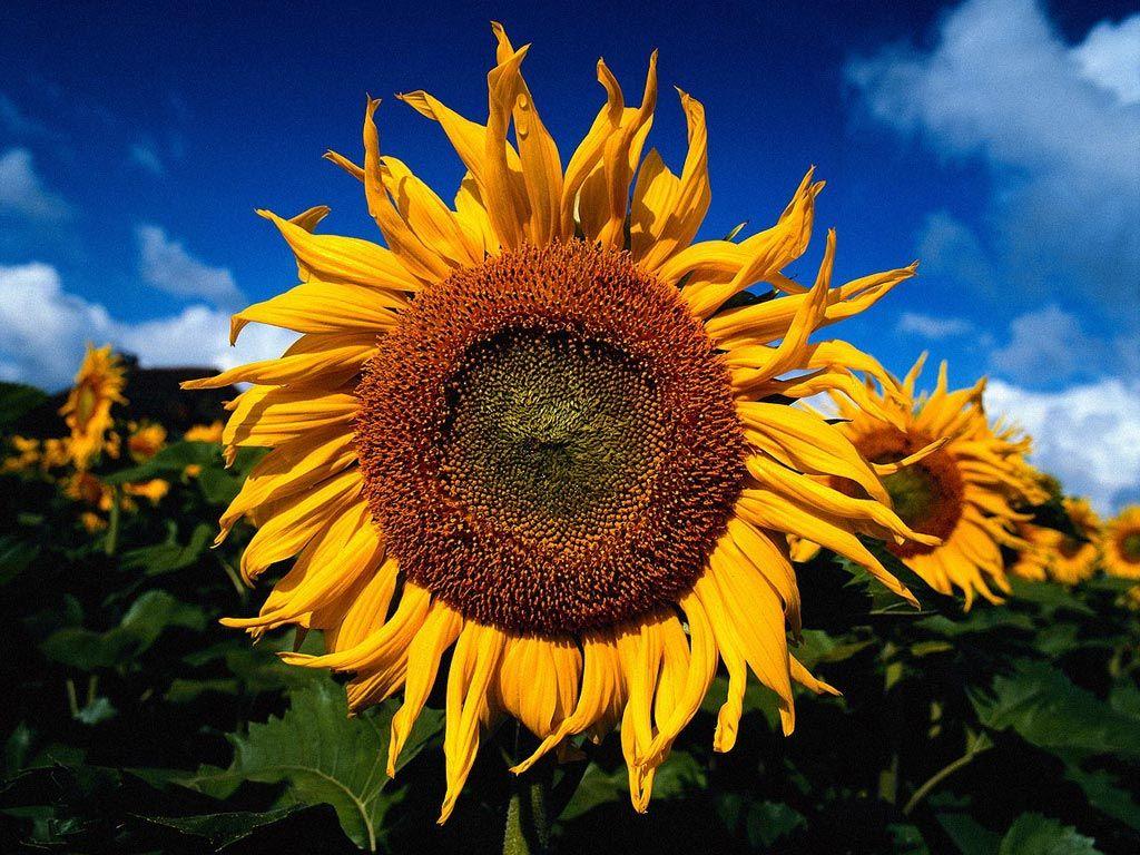 sunflower   Sunflower pictures, Sunflower, Mona lisa