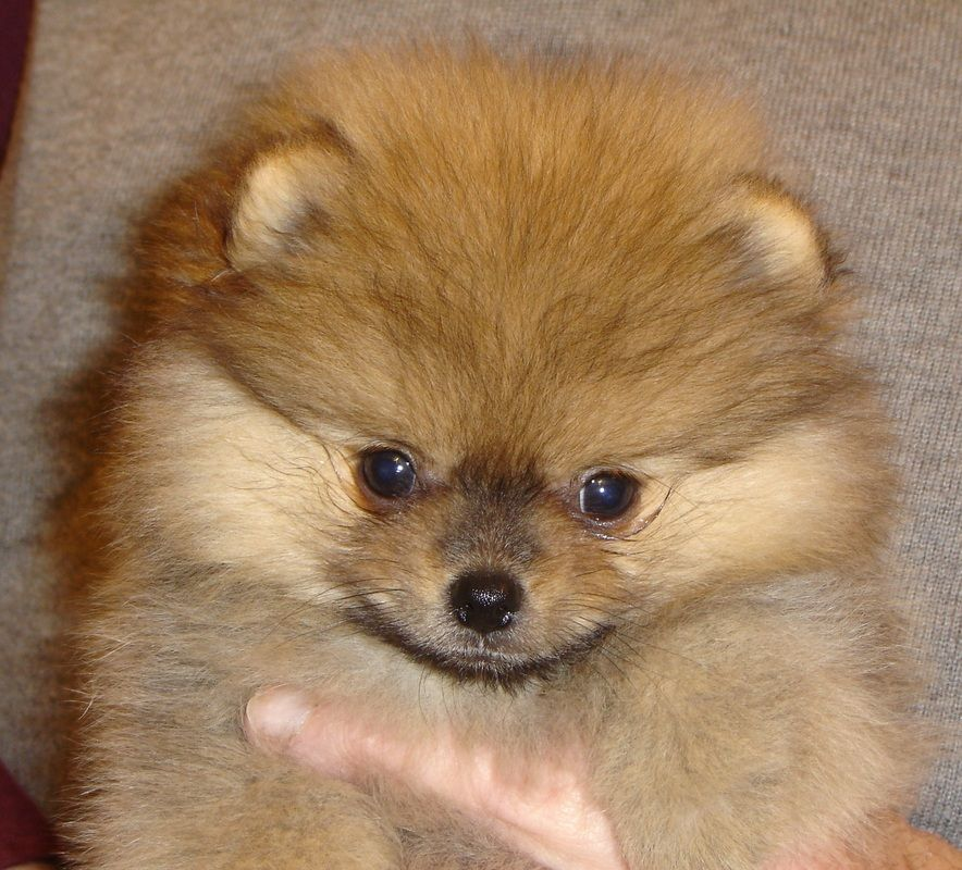 pomeranian puppy michigan puppies tisha pomeranians michigan breeder poms 7010