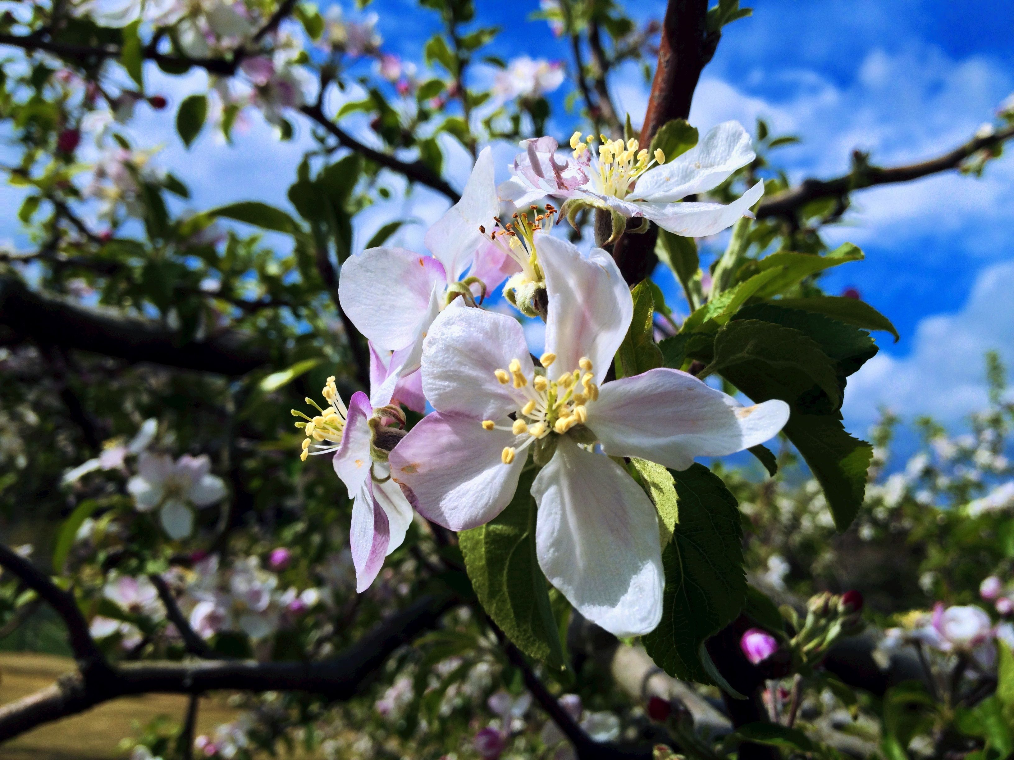 Flowers of apples.