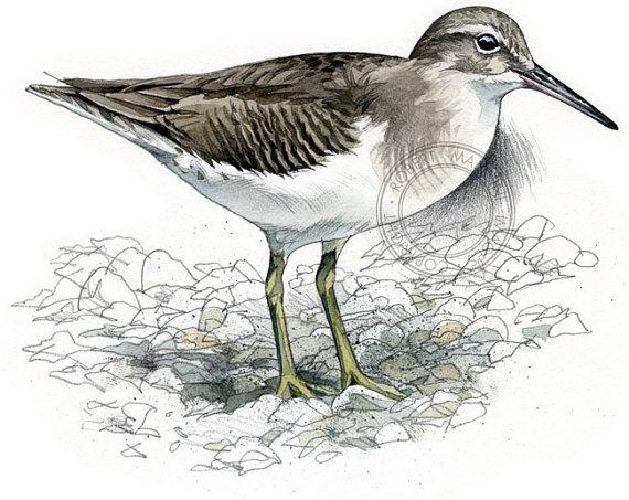 Chevalier grivelé hiver art de l'oiseau art animalier