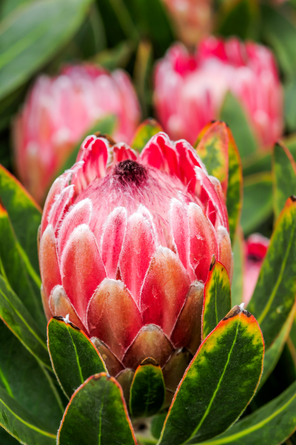 A Guide To Growing Proteas Protea Plant Protea Flower Growing Flowers