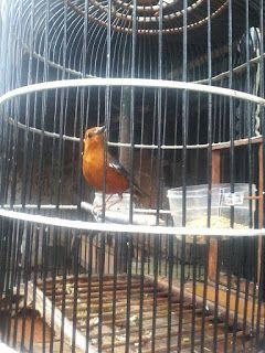 Hobi Burung Manfaat Mandi Malam Dan Pengembunan Pada Burung An Malam Hewan Hewan Peliharaan