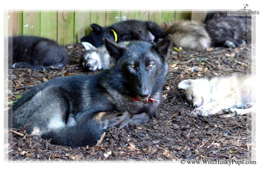 Meet Male a cute Wolf Hybrid puppy for sale for $700  WOLF