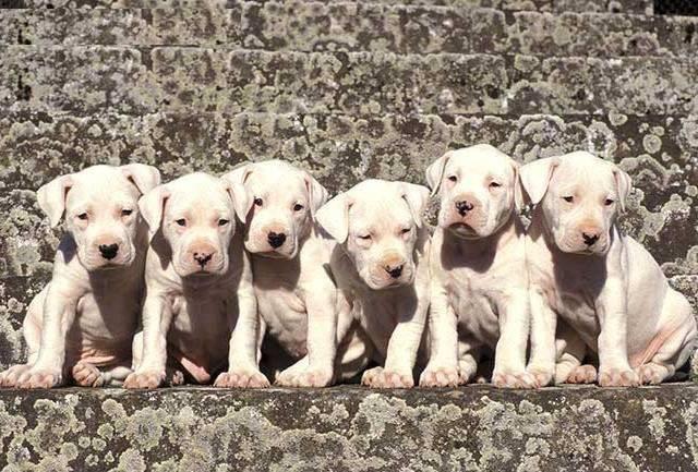 Wonderful Dogo Chubby Adorable Dog - 99969b591d20233c2361a22fb9db15a2  2018_65517  .jpg