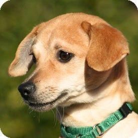 Europa Beagle Italian Greyhound Mix At Arf Pets Kitten