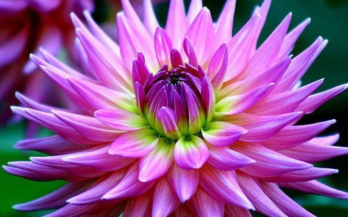Pin by vera a on dahlia pinterest dahlia beautiful flowers beautiful flowers names dahlia other name beautiful flowers names have meaning mightylinksfo
