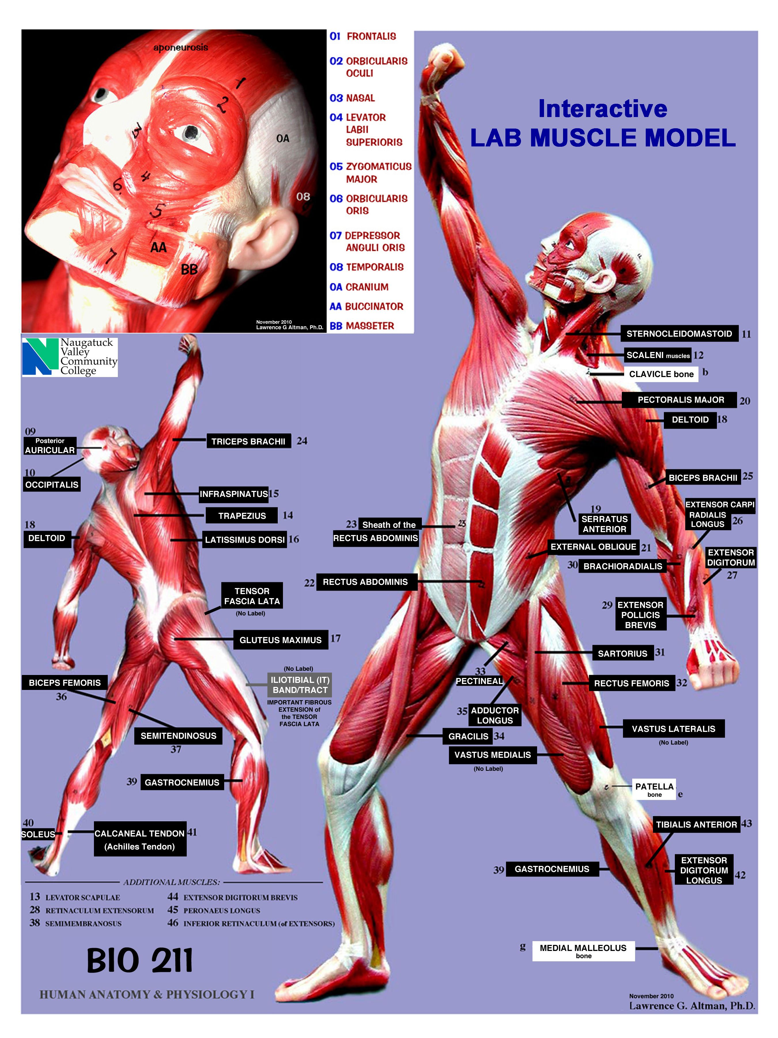 ANATOMY and PHYSIOLOGY MUSCLES LOCATION, ACTION, ORIGIN and ...